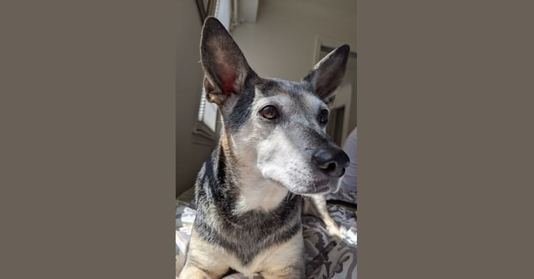 Photo of Queen Taco, a Rat Terrier, American Pit Bull Terrier, Russell-type Terrier, Chow Chow, and Mixed mix in New Jersey, USA