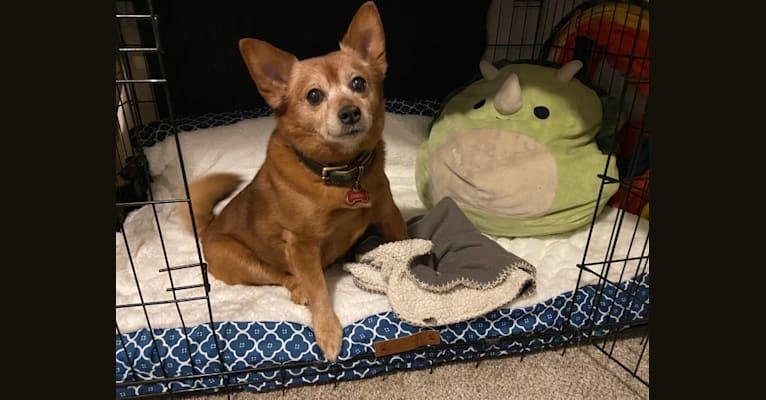 Photo of Owen, a Pomeranian and Miniature Pinscher mix in Kearns, Utah, USA