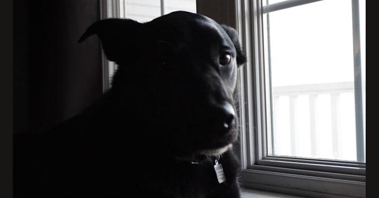 Photo of Loki, a Boxer, Alaskan Malamute, German Shepherd Dog, and Mixed mix in Salem, Wisconsin, USA