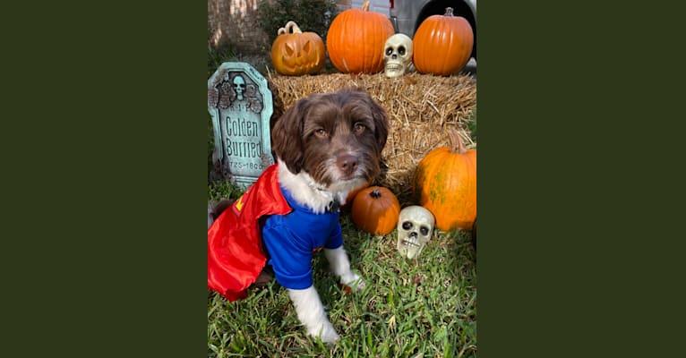 Photo of Ranger, a Poodle (Small), Miniature Schnauzer, Cocker Spaniel, Chihuahua, Pekingese, and Mixed mix in Houston, Texas, USA