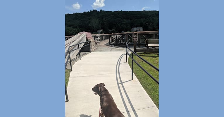 Photo of Griffin, a Labrador Retriever and American Pit Bull Terrier mix in Dingmans Ferry, Pennsylvania, USA