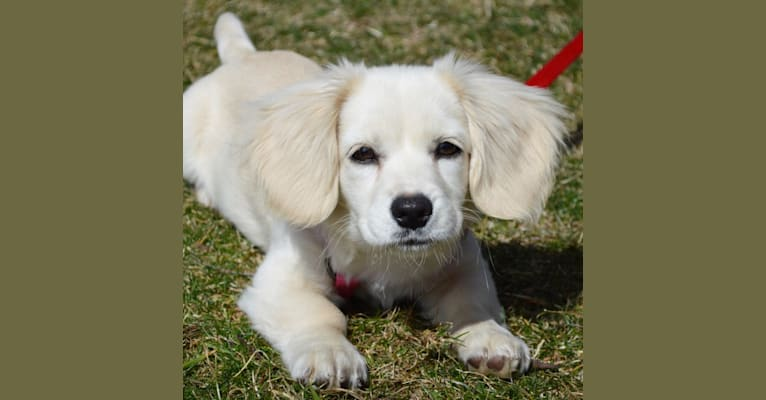 Photo of Cupcake, a Pekingese, Miniature Pinscher, Chihuahua, and Beagle mix in New York, USA