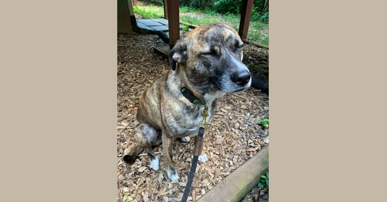 Photo of Luka, a Staffordshire Terrier, German Shepherd Dog, Chow Chow, and Mixed mix in Atlanta, Georgia, USA