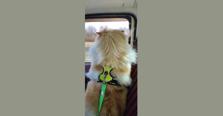 Photo of Zeus, a Chow Chow  in Leland, NC, USA