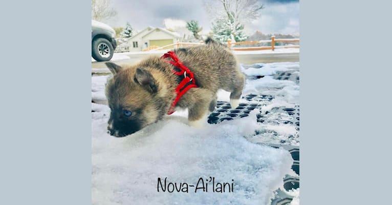 Photo of Nova-Ai'Lani, a Pomsky  in Metamora, Michigan, USA
