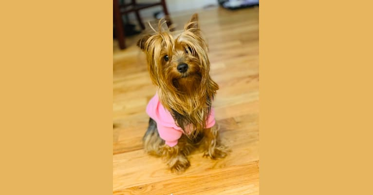 Photo of Mellona Fendi Dior, a Yorkshire Terrier  in New York, USA
