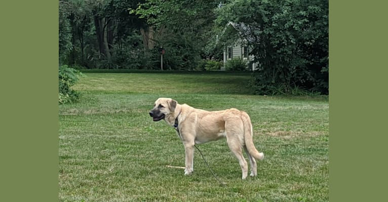 Photo of Chewie, an Anatolian Shepherd Dog and Great Pyrenees mix in Oklahoma, USA