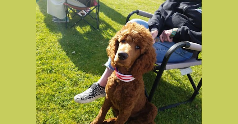 Photo of Bear, a Poodle (Standard)  in Oregon, USA