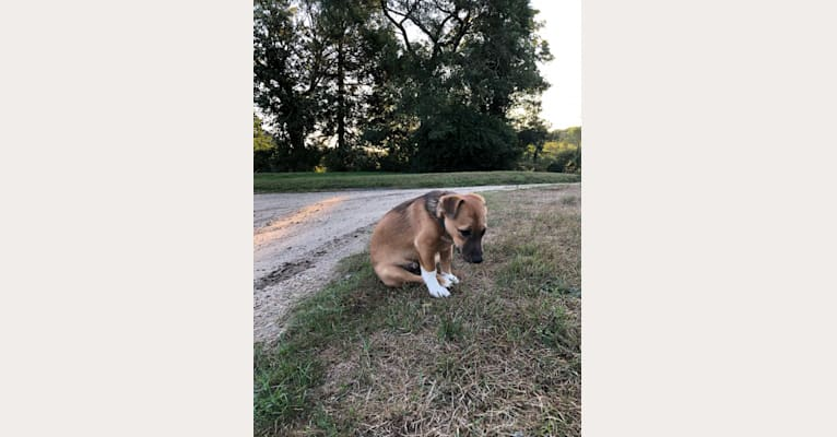 Photo of Sammy, an American Pit Bull Terrier, Chihuahua, Treeing Walker Coonhound, Siberian Husky, and Mixed mix in South Carolina, USA
