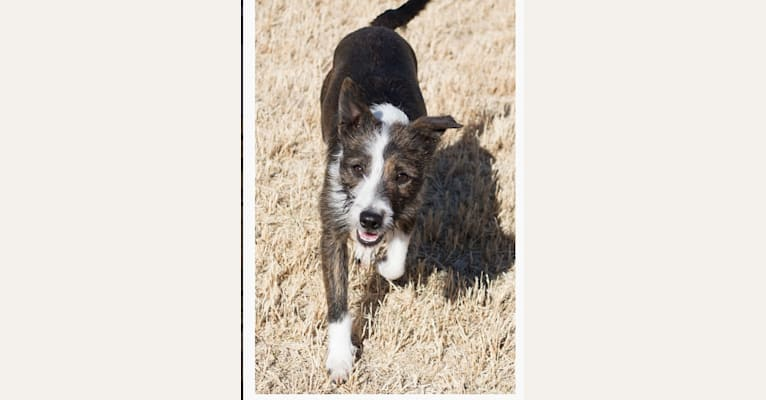 Photo of Ginger, a Border Collie, Border Terrier, Whippet, Russell-type Terrier, and Staffordshire Bull Terrier mix in Pahrump, Nevada, USA
