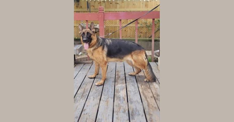 Photo of Lola Vom Eibe Saale Winkel, a German Shepherd Dog  in Houston, TX, USA