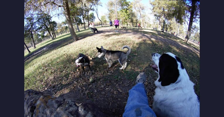 Photo of Catori, a Great Pyrenees, Border Collie, and Mixed mix in Humble, Texas, USA