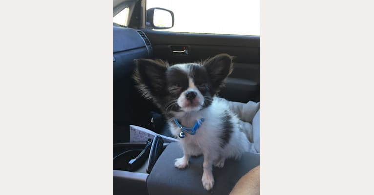 Photo of Scout, a Chihuahua  in Tucson, AZ, USA