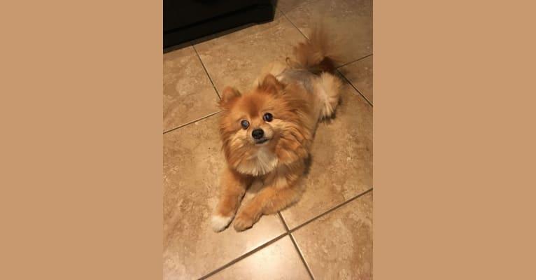 Photo of Teddy, a Pomchi (8.9% unresolved) in San Tan Valley, Arizona, USA
