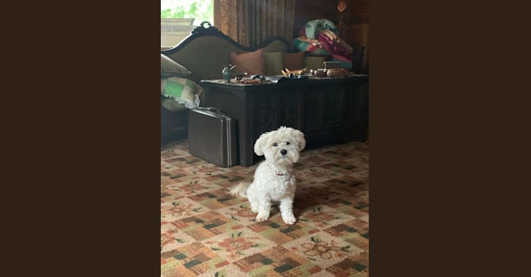 Photo of Bastien, a Havanese  in Syracuse, New York, USA