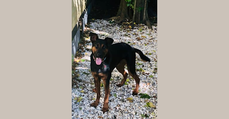 Photo of Beaux Jaxon, a German Shepherd Dog, Labrador Retriever, American Bulldog, and Rottweiler mix in New Orleans, Louisiana, USA