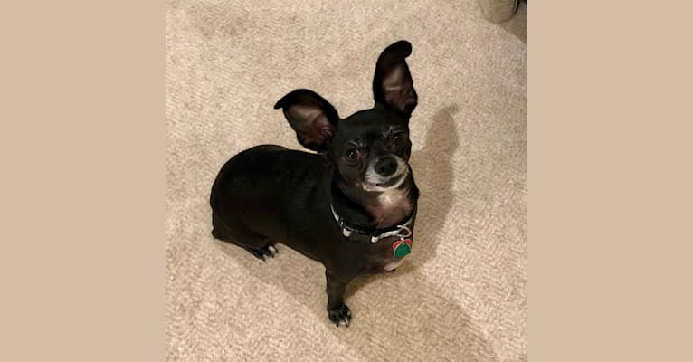 Photo of Laney, a Chihuahua, Dachshund, Rat Terrier, and Mixed mix in Fairview, Texas, USA