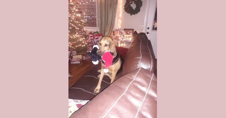 Photo of Honey, a Bloodhound  in Hemet, California, USA