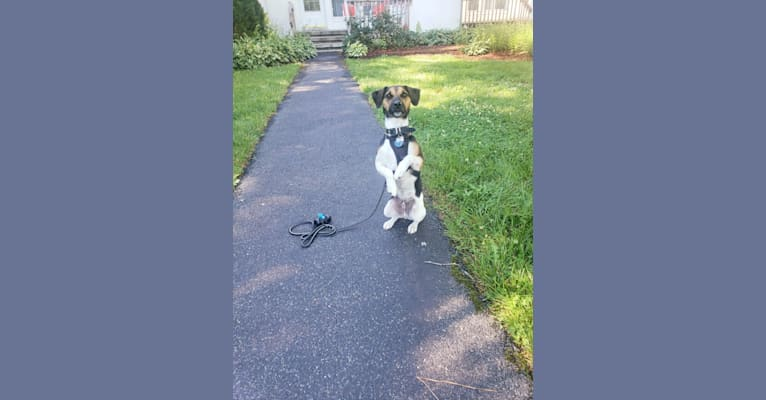 Photo of Zero, a Russell-type Terrier  in Newark, Delaware, USA