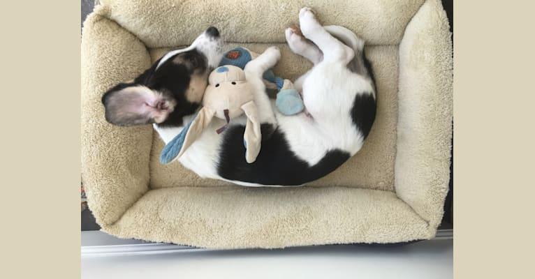 Photo of Beans, a Beagle, Siberian Husky, Labrador Retriever, and Mixed mix in Nicholasville, Kentucky, USA