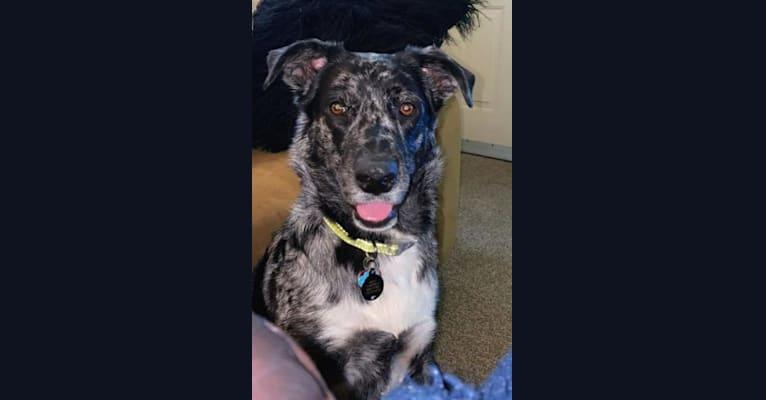 Photo of Buffy, a German Shepherd Dog, Australian Shepherd, Australian Cattle Dog, Great Pyrenees, and Border Collie mix in Edmond, Oklahoma, USA
