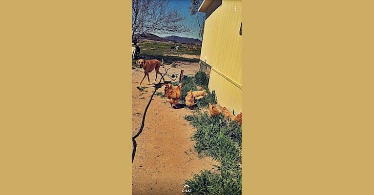 Photo of Doutzen, a Great Dane  in Gilbert, Arizona, USA