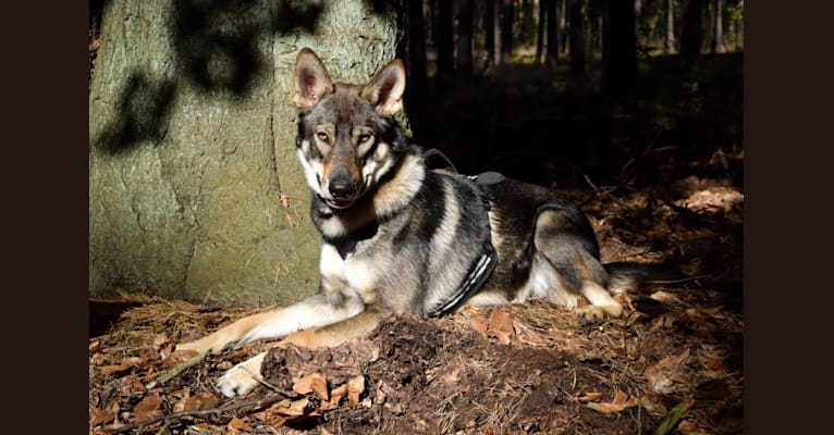 Photo of Jorah, a German Shepherd Dog and Siberian Husky mix in Deutschland
