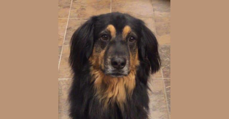 Photo of Bosley, a Chow Chow, Rottweiler, German Shepherd Dog, Labrador Retriever, Australian Shepherd, and Mixed mix