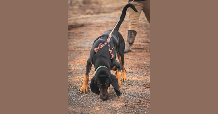 Photo of Goose, a Bloodhound  in Louisiana, USA