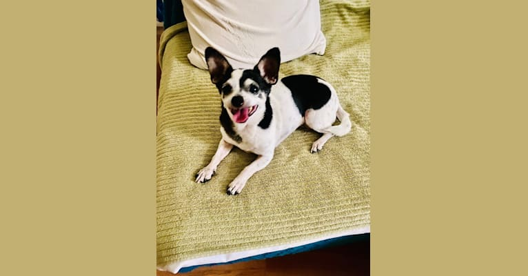 Photo of Romi, a Chihuahua, Miniature Pinscher, and Poodle (Small) mix in San Diego, California, USA