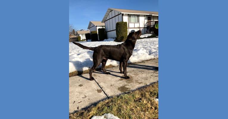 Photo of Phinehas, a Labrador Retriever  in Montana, USA