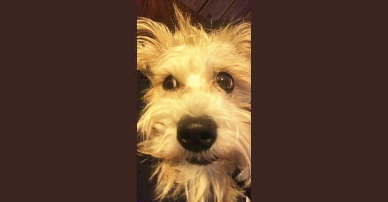 Photo of Winston, a Miniature Schnauzer, Chihuahua, Poodle (Small), and Mixed mix in Kingman, Arizona, USA