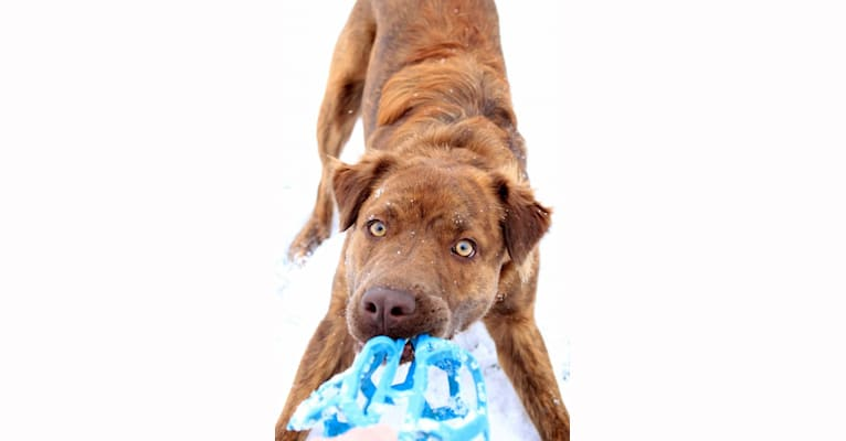 Photo of Sully, an American Pit Bull Terrier, Labrador Retriever, and Chinese Shar-Pei mix in New Lebanon, Ohio, USA