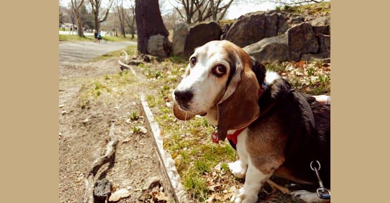 Photo of Gimli, a Basset Hound  in New York, New York, USA