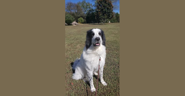 Photo of Po, a Great Pyrenees and Anatolian Shepherd Dog mix in Rockford, Tennessee, USA