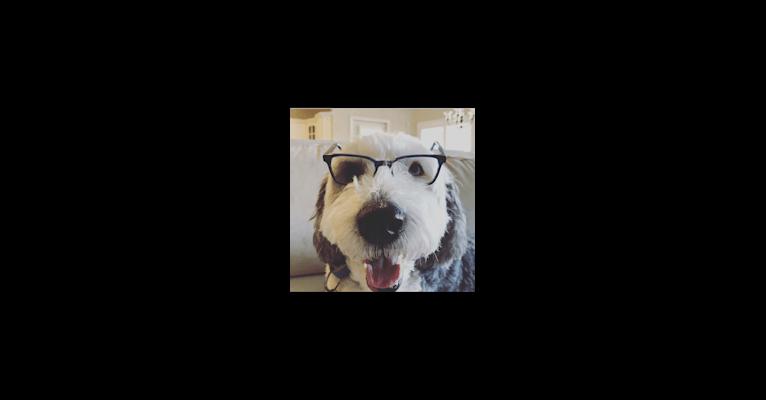 Photo of Pippa, an Old English Sheepdog
