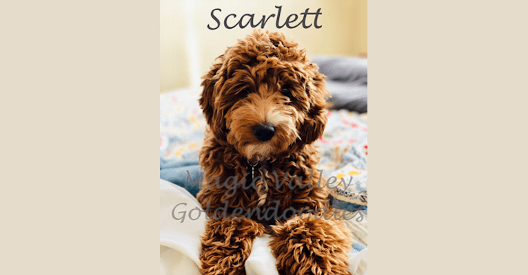 Photo of Scarlett, a Goldendoodle