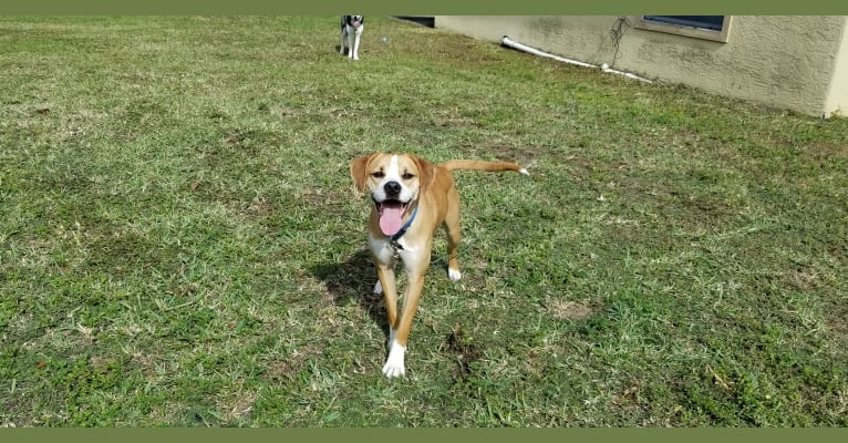Photo of Dakota, an American Pit Bull Terrier, American Staffordshire Terrier, and American Foxhound mix in Tampa, Florida, USA