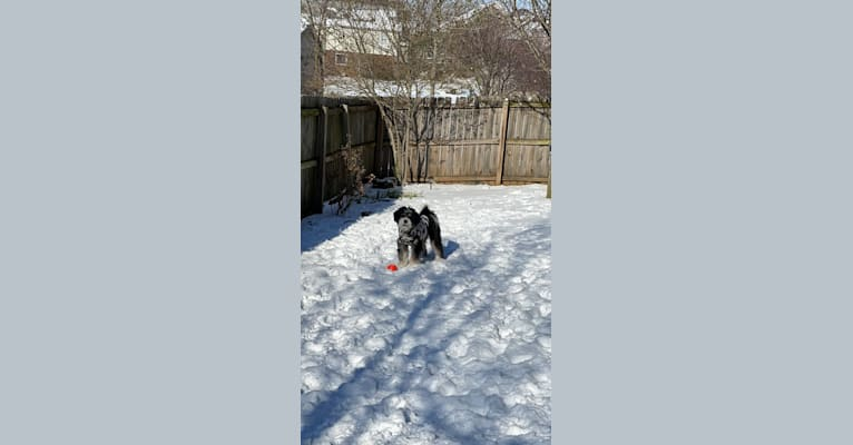 Photo of Drake, a Bernese Mountain Dog and Poodle (Small) mix in Millersburg, OH, USA