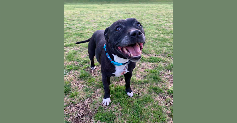 Photo of Pocket, a Staffordshire Bull Terrier  in Townsville, Queensland, Australia