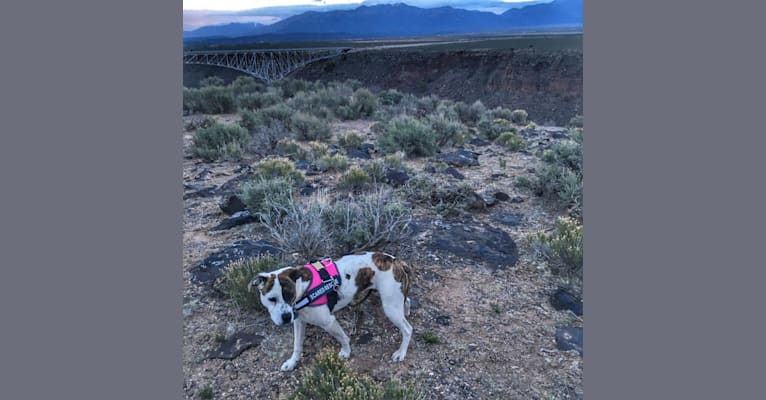 Photo of Tasha, an American Pit Bull Terrier, American Staffordshire Terrier, Rottweiler, and Mixed mix in Roswell, New Mexico, USA