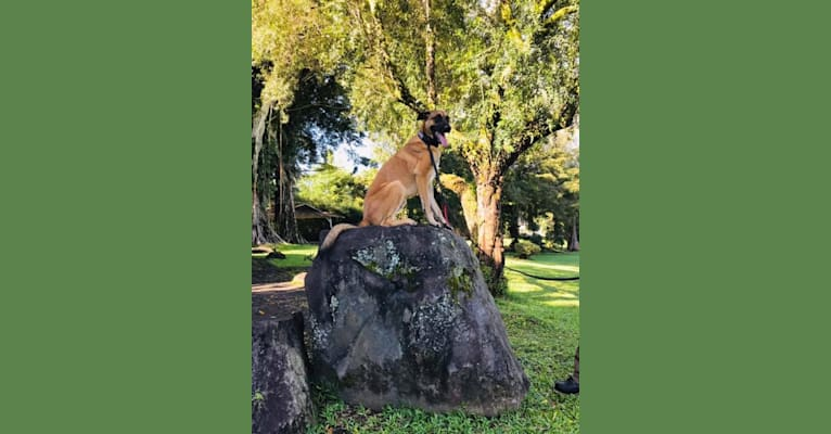 Photo of Reaper, a Belgian Shepherd  in Orchidlands Estates, Hawaii, USA