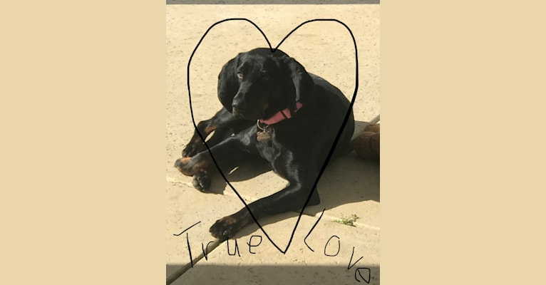 Photo of Maddie, a Black and Tan Coonhound  in Claremore, OK, USA