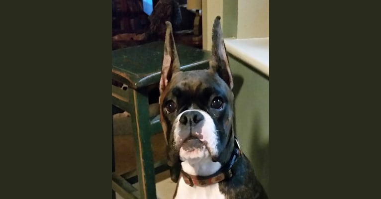 Photo of Bodie, a Boxer  in Neptune, NJ, USA