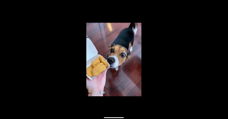 Photo of Lenny, a Beagle, Miniature/MAS-type Australian Shepherd, and Australian Shepherd mix in Goodrich, Michigan, USA