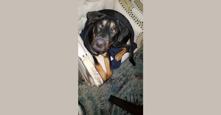 Photo of Leon, a Chow Chow, German Shepherd Dog, Labrador Retriever, English Shepherd, Australian Cattle Dog, and Mixed mix in Flower Mound, Texas, USA