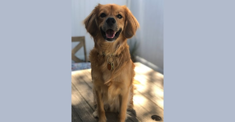 Photo of Claude, a Beagle, Golden Retriever, American English Coonhound, and Mixed mix in Winston-Salem, North Carolina, USA