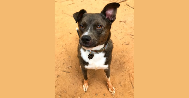 Photo of Teddy, an American Pit Bull Terrier, Siberian Husky, Pomeranian, and American Staffordshire Terrier mix in Charlotte, NC, USA