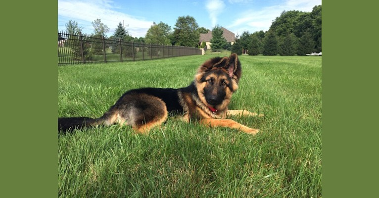 Photo of Moose, a German Shepherd Dog and Black Russian Terrier mix in Indiana, USA