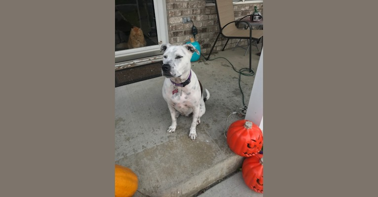 Photo of Brin, an American Pit Bull Terrier, American Bulldog, American Staffordshire Terrier, Chow Chow, and German Shepherd Dog mix in Kansas, USA